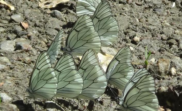 Van, rengârenk kelebeklere ev sahipliği yapıyor