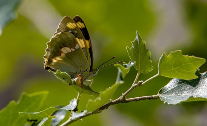 Van'daki kelebekler için kilometrelerce yol kat ediyorlar