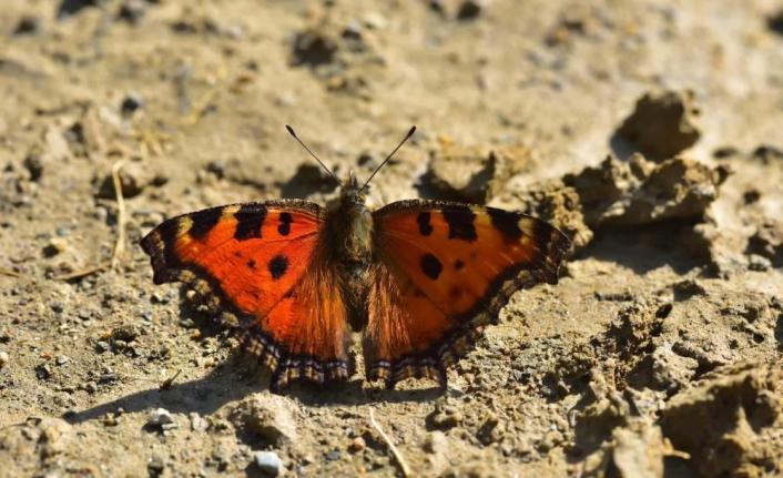 Van'da yeni kelebek türleri kayıt altına alındı