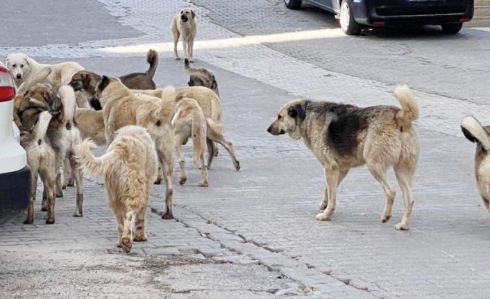 Van'da sürü halinde dolaşan köpekler tehlike oluşturuyor