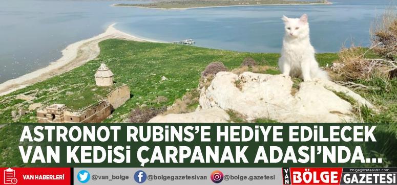 Astronot Rubins'e hediye edilecek Van kedisi Çarpanak Adası'nda...