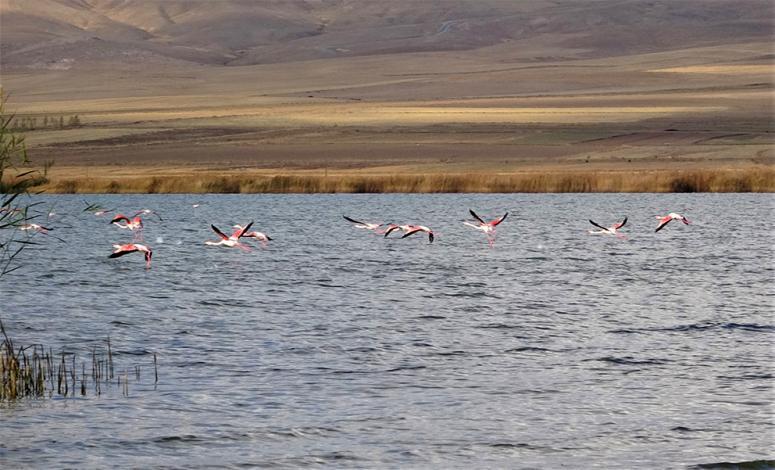 Erçek Gölü'ndeki flamingolar göçe hazırlanıyor