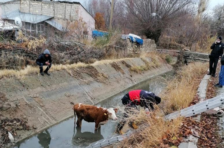 Şamran Kanalı'na düşen inek kurtarıldı