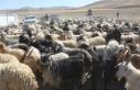 30 koyunla başladı, devlet desteğiyle çiftlik...