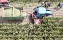 Türkiye'nin en sulak ilçesinde mısır hasadı...
