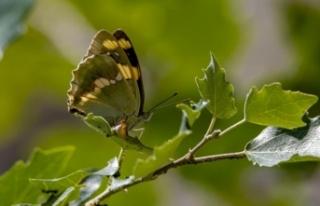 Van'daki kelebekler için kilometrelerce yol kat...