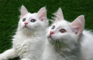 Van kedilerine Anadolu fon müzikleri dinletiliyor