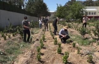 250 bin Erciş üzümü fidanı toprakla buluşturulacak