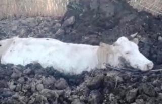 Gevaş'ta bataklığa saplanan inek kurtarıldı