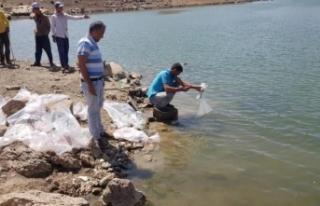Sarımehmet Barajı'na 260 bin yavru balık bırakıldı