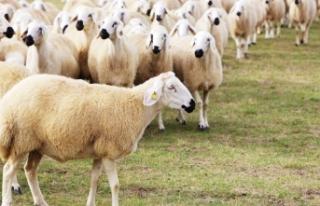 Van, koyun sayısındaki rekorunu koruyor