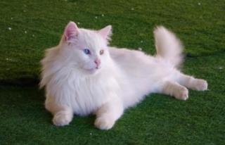En yaşlı Van kedisi 'Paşa' 14 yaşına...