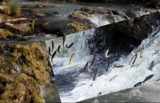 Van Balığı'nın muhteşem göçü başladı