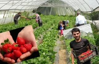 Bahçesaray'da çilek hasadına başlandı