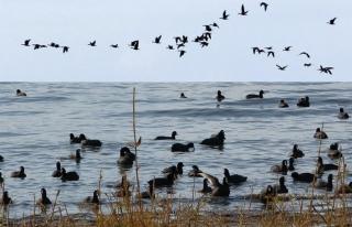 Erçek Gölü'ndeki yaban kazlarından görsel şov...