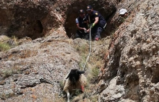 Gürpınar'da dağda mahsur kalan keçiler kurtarıldı