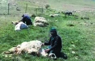 Van'daki yaylalarda koyun kırpma dönemi…