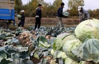 Erciş'te üretilen lahananın hasadına başlandı