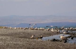Adır Adası'ndaki martı leşleri tek tek toplandı