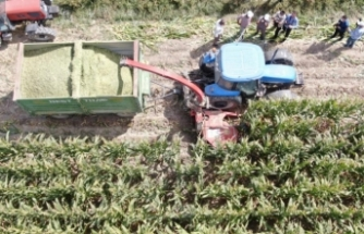 Türkiye'nin en sulak ilçesinde mısır hasadı başladı