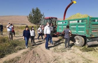 Van'da ekilen mısırlar silaj makineleri ile biçiliyor