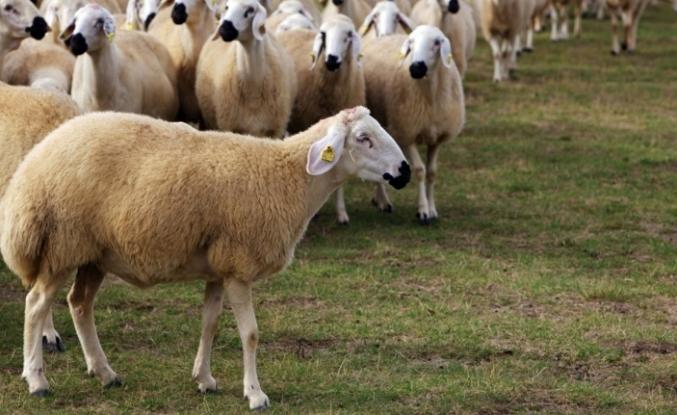 Koyun ve keçi desteği ödemeleri başlıyor